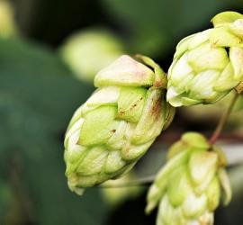 hops-flower-2730269_960_720